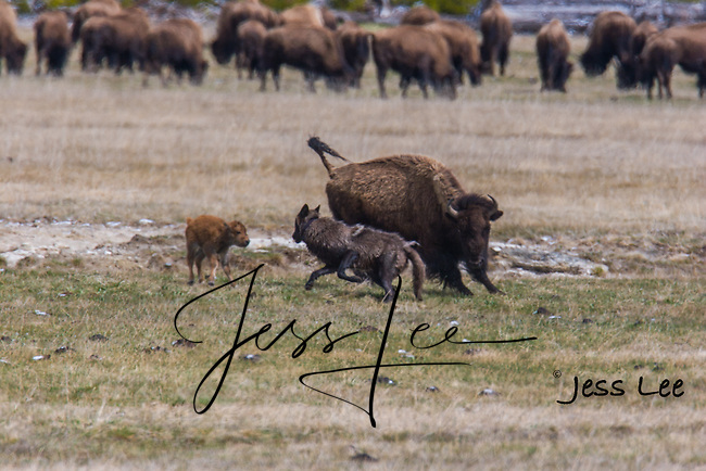wolf trying to kill bison calf