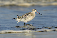 Bar-tailed Godwit Limosa lapponica L 35-40cm. Large wader with long, slightly upturned bill. Looks shorter-legged than Black-tailed. In flight, note absence of wingbar on upperwing; white rump extends as wedge to lower back and tail is barred. Sexes are dissimilar in summer. Adult male in breeding plumage has reddish orange head, neck and underparts. Back is spangled grey, black and pale buff. Adult female in breeding plumage has buffish orange wash on head, neck and breast, pale belly and greyish back. Winter adult has grey-brown head, neck and upperparts; underparts are pale. Juvenile recalls winter adult but has buffish wash to head, neck and upperparts. Voice Utters a sharp kve-wee call in flight. Status Nests in Arctic; non-breeding visitor to coastal Britain and Ireland.