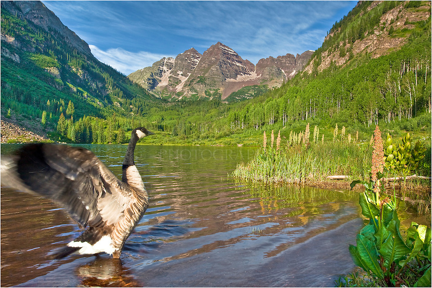This Colorado Image was taken completely by luck. I was photographing the Maroon Bells near Aspen, Colorado. A few geese started swimming my way, so I thought it would be fun to get a Colorado picture with geese and the Maroon Bells. The geese seemed undeterred by my presence, so I kept taking shots. This particular creature flapped its wings as if posing for me at one point, and this is the image I captured.