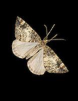 Common Marbled Carpet - Chloroclysta truncata<br /> 70.097 (1764) Male (left) and Female (right)