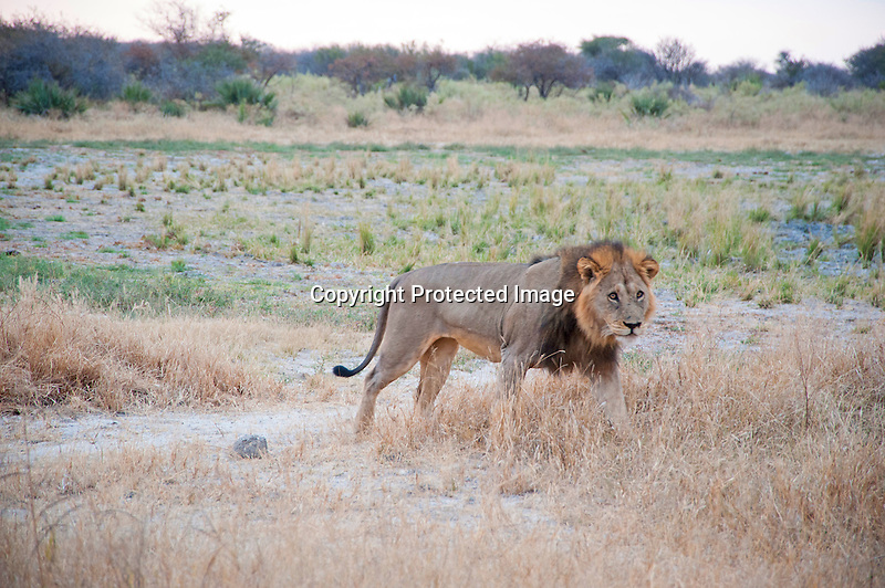The Boss Lion in Moremi Animal Reserve in Botswana in Africa