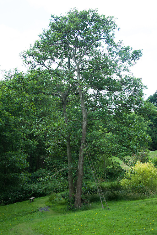 Traditional orchard ladder resting against alder tree, Lower Pond, Fairlight End, Pett, East Sussex, late June.