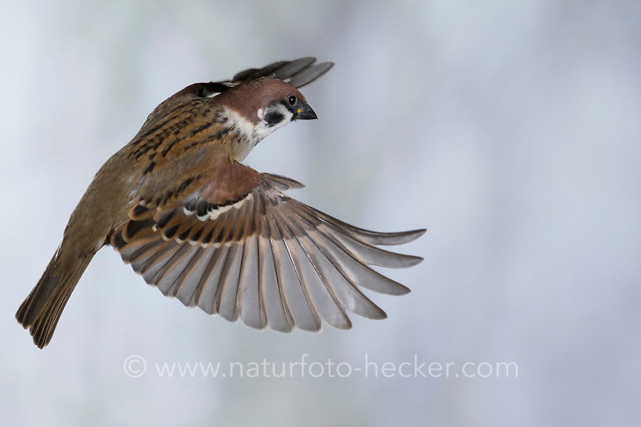 Feldspatz, Flug, fliegend, Flugbild, Feld-Spatz, Feldsperling, Feld-Sperling, Spatz, Spatzen, Sperling, Passer montanus, tree sparrow, sparrow, flight, flying, sparrows, Le Moineau friquet