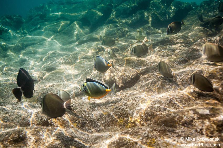 Whitebar Surgeonfish & Orangespine Unicornfish feeding on algae at Shark's Cove, Oahu