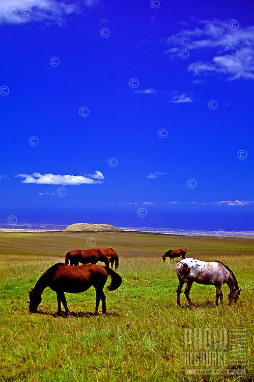 Horses graze in a field near Saddle Road on the Big Island of Hawaii.