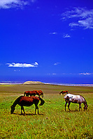 Horses graze in a field near Saddle Road on the Big Island of Hawaii.