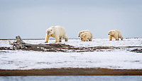 Polar Bear mother and three spring cubs head directly into the strong wind, as they make their way along the shore.  The bears didn't seem bothered by the cold, but the wind was very strong.  Kaktovik, Alaska.