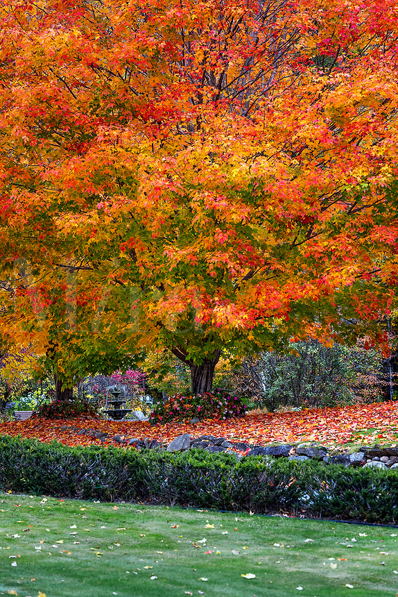 Autumn maple tree, Bristol, New Hampshire, USA.