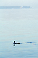 Loon in Georgian Bay with Flowerpot Island on Horizon