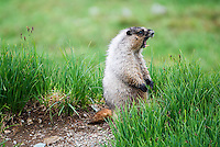 A hoary marmot calls near Logan Pass in Glacier National Park.