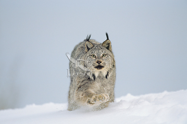 Canadian Lynx (Lynx canadensis) walking through deep powder snow.  Notice the large size of its paws which act like mini snowshoes for walking on snow.