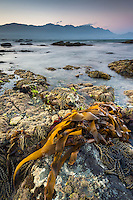 Dusk on rocky shores of Kaikoura coastline with Kaikouras mountains in background and bull kelp seaweed, Kaikoura, Marlborough Region, South Island, East Coast, New Zealand
