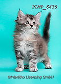Marek, ANIMALS, REALISTISCHE TIERE, ANIMALES REALISTICOS, cats, photos+++++,PLMP6439,#a#, EVERYDAY