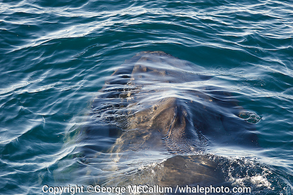 Megaptera novaeangliae Humpback whale feeding just under the surface Spitzbergen Arctic Norway North Atlantic