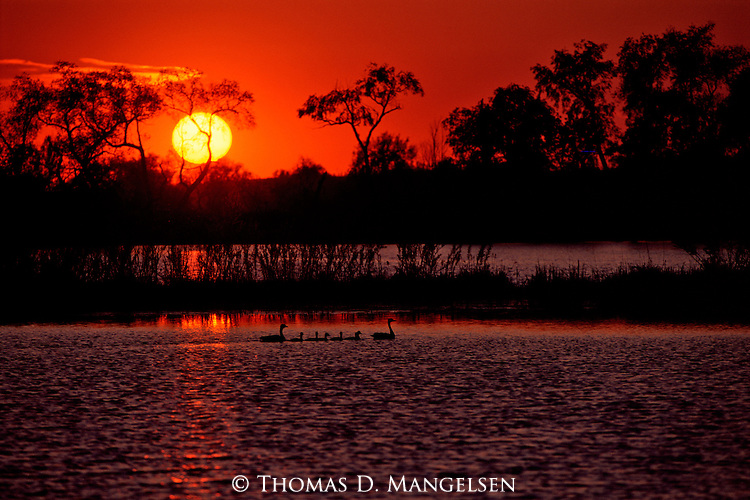 Two geese and their brood of goslings swim in  the river as the sunset reflects off the water.