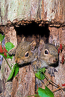 Eastern baby gray squirrels, Sciurus carolinensis, poking their heads out of the den with oak vine, midwest USA