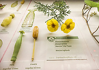 Mexican Tulip Poppy, Hunnemannia fumariifolia, Glass Flowers Exhibit Harvard Museum of Natural History