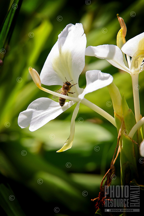 Honey bee on a white ginger plant, Big Island.