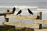 Kalaloch beach. Split log fence with blackbirds.