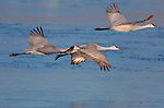 Sandhill Cranes Morning Formation Flight Bosque del Apache Wildlife Refuge New Mexico