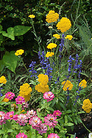 Zinnias, pink, with perennial plant Achillea and Salvia farinacea in annuals and perennials summer flower garden of blue, yellow and pink color theme mixed together