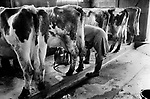 Upper Slaughter, Gloucestershire 1975. England. Farmer Mr Kenneth Pugh milking cows.