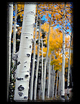 Autumn aspen tree trunk on Kenosh Pass, Colorado