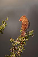 511650098 a wild female northern cardinal cardinalis cardinalis on santa clara ranch hidalgo county rio grande valley texas united states