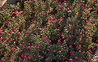 View of the rose garden on the Occidental College campus. (Photo by Marc Campos, Occidental College Photographer)