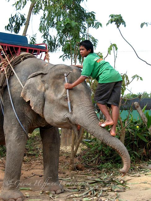 Boy mahout climbing up elephant's trunk. Ko Lanta, Thailand