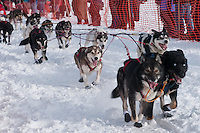 Musher # 67 Harry Alexie's dogs at the Restart of the 2009 Iditarod in Willow Alaska