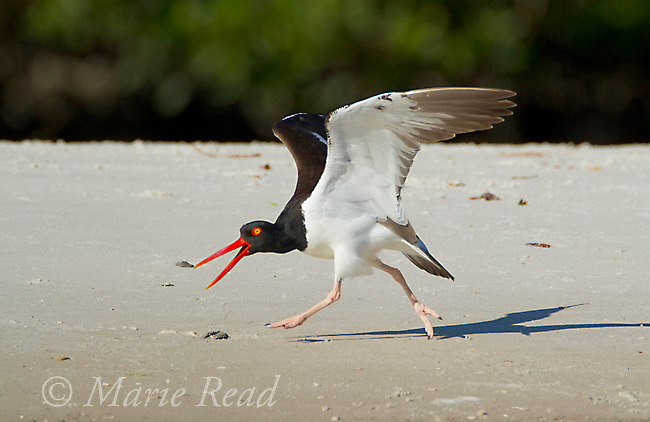 American Oystercatcher (Haematopus palliatus), running and calling in aggressive posture when another oystercatcher lands nearby,Tampa Bay, Florida, USA