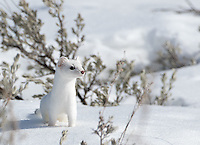 An ermine is a fast and elusive subject that's very difficult to photograph.