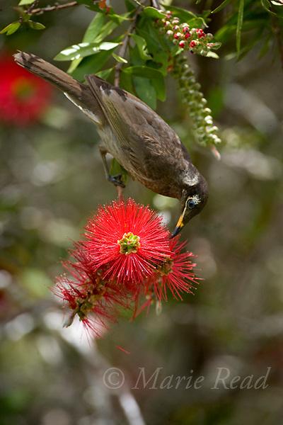 Bridled Honeyeater (Lichenostomus frenatus) feeding on nectar from bottlebrush (Callistemon sp.) flowers, Atherton Tableland, Queensland, Australia.