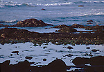 Olympic National Park, Shi Shi Beach, Point of the Arches, rocky shore, Great Blue Heron wades in tidepool, Washington State, Pacific Northwest,  Pacific Ocean, Northwest coast, Olympic Peninsula, North America, USA,.