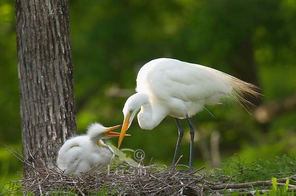 Great Egret or Common Egret (Casmerodius albus) nest.  Louisiana.  May.