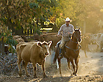 Greeley Hill, October 25, 2007..Cattle Drive from Uglow Ranch On Penon Blanco Road along Granite Springs Road and Merced Falls Road. ..Photo by AL GOLUB/Golub Photography.