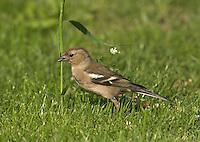 Buchfink, Weibchen, Buch-Fink, Fringilla coelebs, Chaffinch, Pinson des arbres