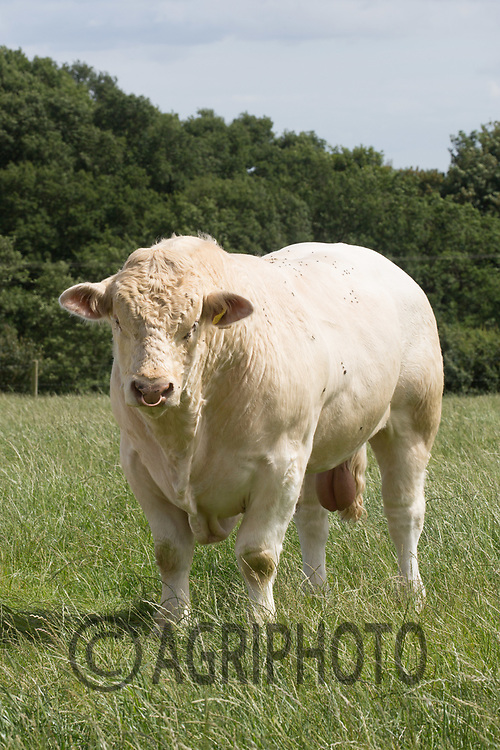 Charolais Bull<br /> Picture Tim Scrivener 07850 303986<br /> &hellip;.covering agriculture in the UK&hellip;.