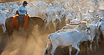 Vaquero moving a herd of cattle, Pantanal, Brazil