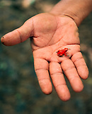 PANAMA, Isla Bastimentos, man holds a poisonous Bastimentos Red Frog at Red Frog Beach, Central America