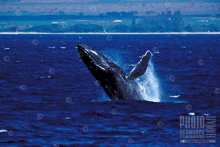 Humpback whale breaches in the waters offshore of Maalaea, Maui.