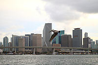 pelican flying with miami downtown in the background