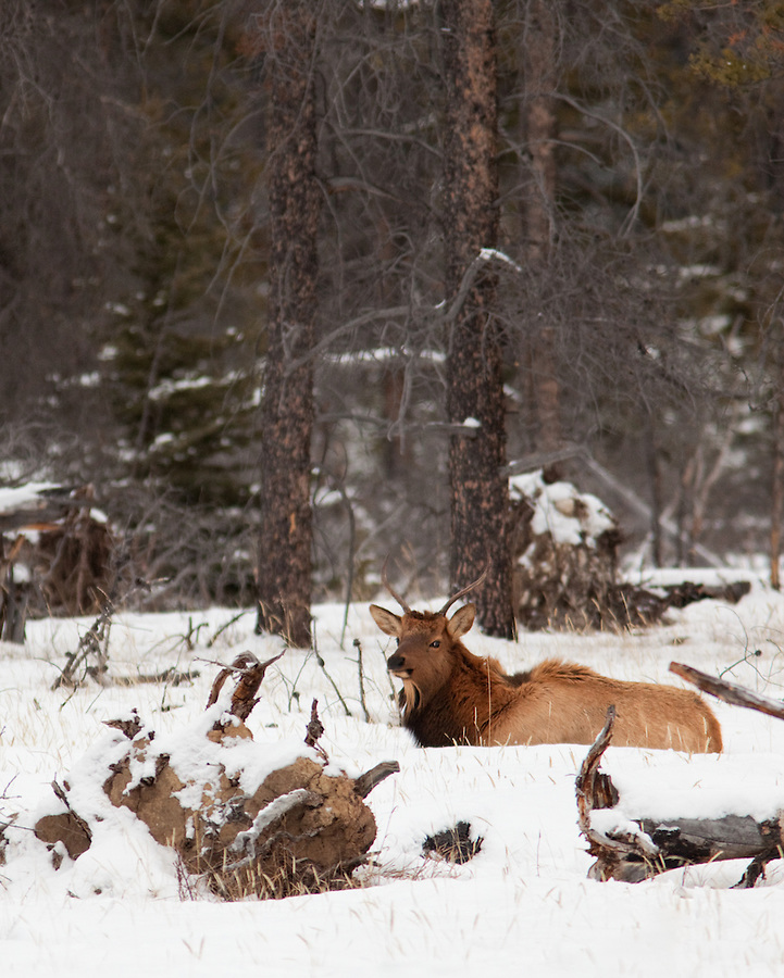 A single, young bull elk sits in the snow among the trees on the edge of the forest in Banff National Park, Alberta, Canada.