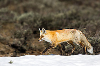 Prancing red fox enjoying the last bit of winter snow before the full heat of summer makes her fur coat a bit too much for the season. Grand Teton National Park.