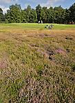 GEIJSTEREN - Hole 7 met heide, Golf- en Countryclub Geijsteren. FOTO KOEN SUYK
