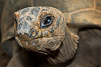 portrait of a male ploughshare tortoise