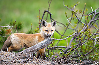 Fox kit portrait, Grand Teton National Park