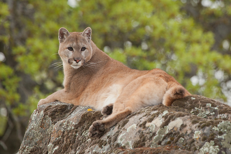 Cougar lying on a lichen covered rock looking back - CA