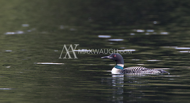Loons are not a common sight in Yellowstone.  I was surprised to find this one at Trout Lake.